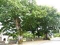 Locmaria-Berrien 6 Deux chênes pédonculés classés arbres remarquables de France.JPG