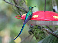 Long-tailed Sylph RWD2.jpg