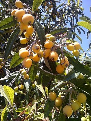 Loquat - Loquat leaves and fruits