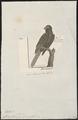 Lorius ater - 1782-1825 - Print - Iconographia Zoologica - Special Collections University of Amsterdam - UBA01 IZ18500300.tif