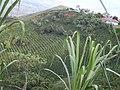 Los guaduales Balboa Cauca - panoramio (21).jpg