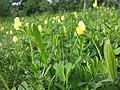 Lotus maritimus (var. siliquosus) sl25.jpg