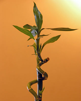 Dracaena (plant) - Image: Lucky Bamboo 2005 Sean Mc Clean