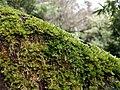 Lumut pada pohon di sekitar Telaga Warna Dieng.jpg