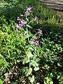Lunaria annua sl15.jpg