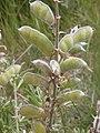 Lupinus argenteus (3726507735).jpg