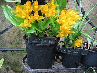 <i>Lycaste aromatica</i> species of plant