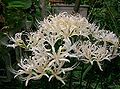 Lycoris sp2.jpg