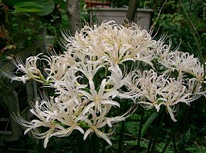 Description de l'image Lycoris sp2.jpg.