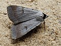 Lygephila craccae - Scarce blackneck (26995299808).jpg