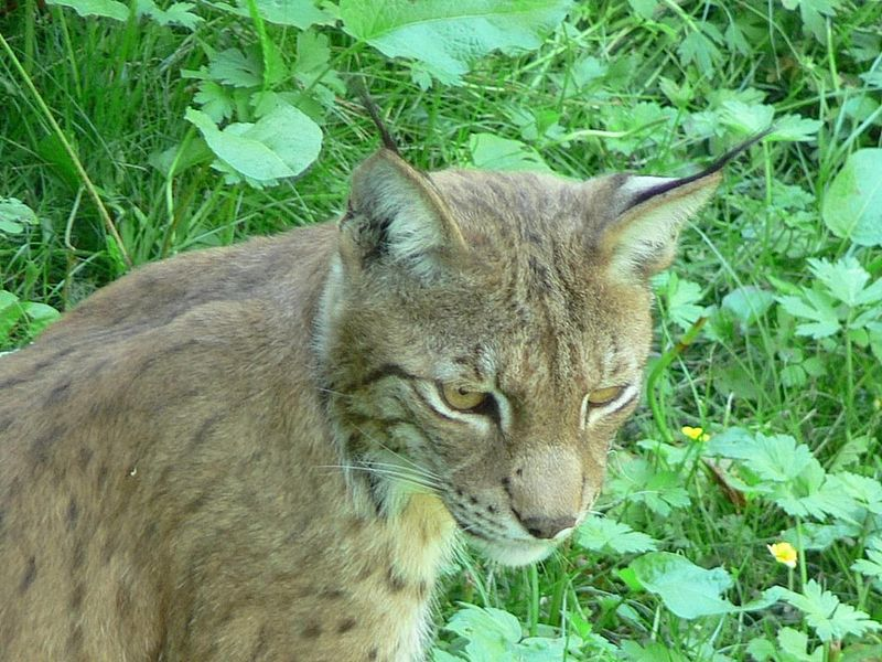 Lynx Cat Animal Totem