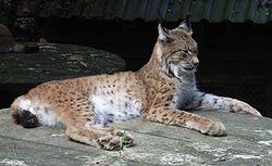 Lynx lynx 1.jpg