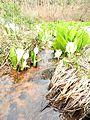 Lysichite blanc à Shiramine (Hakusan) - 05 - 2016-04-25.jpg