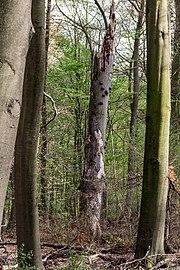 Münster, Wolbeck, Wolbecker Tiergarten, Naturwaldzelle -Teppes Viertel- -- 2014 -- 7093.jpg