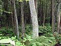 MA Acushnet Cedar Swamp 300x275 nnl nps.jpg