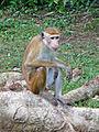 Macaca sinica-Sigiriya Village-Sri Lanka (3).jpg