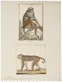 Macacus erythraeus - 1700-1880 - Print - Iconographia Zoologica - Special Collections University of Amsterdam - UBA01 IZ20000079.tif