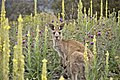 Macropus giganteus and joey on Tuggeranong Hill (01).jpg