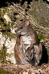 Macropus parma with juvenile in pouch 03.jpg