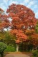 Magnificient oaktree at Kemperbergerweg-end of Merkendal Schaarsbergen in autumncolours - panoramio.jpg