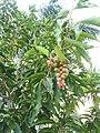Magnolia champaca fruits.jpg