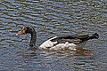 Magpie Goose JCB.jpg