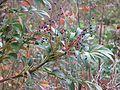 Mahonia gracilipes fruit - Flickr - peganum.jpg