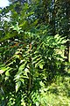 Mahonia lomariifolia kz3.jpg