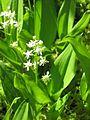 Maianthemum trifolium 1-eheep (5097930120).jpg