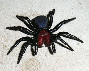 Male Mouse Spider.jpg