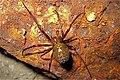 Malham Tarn, European cave spider Meta menardi - geograph.org.uk - 844098.jpg