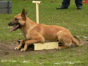 Malinois dog - A Malinois in the ring competing in dog agility