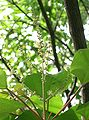 Mallotus japonicus5.jpg