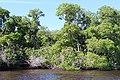 Malpighiales - Rhizophora mangle - 26.jpg