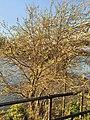 Malpighiales - Salix caprea - 13.jpg