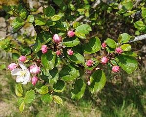 Jabloň planá - kvety