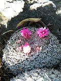 Mammillaria klissingiana (5765559619).jpg