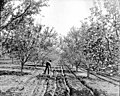 Man tilling soil in orchard, Yakima Valley, ca 1910s (INDOCC 1378).jpg