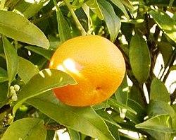 Mandarina.jpg