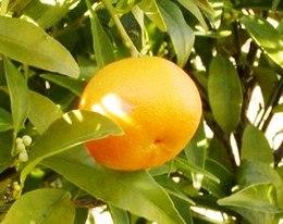 260px-Mandarina