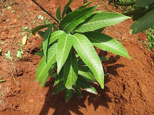 Mango - മാവ് 12