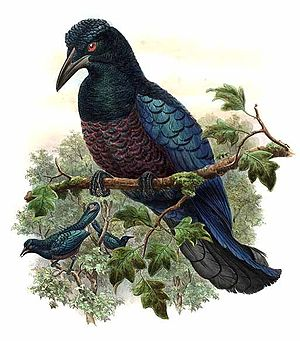 Curl-crested manucode - Illustration of Manucodia comrii