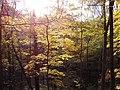 Maple leaves (yellow) PA240058.jpg