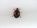 March 10th. Ladybird, ladybird..... (6969507591).jpg