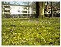 March Crocus Botanischer Garten Freiburg - Master Seasons Rhine Valley Photography - panoramio.jpg