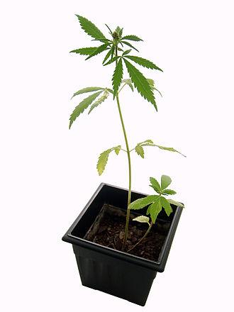 Glossary of cannabis terms - A cannabis plant