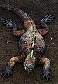 Marine iguana (4228357717).jpg