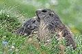 Marmotta (11).jpg