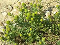 Matricaria discoidea plant (02).jpg