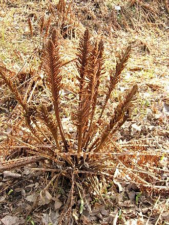 Matteuccia - Spore-bearing fertile fronds in early spring